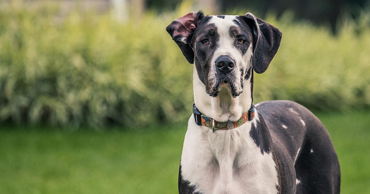 Profile of a Black and White Dog Standing Outside | Diamond Pet Foods