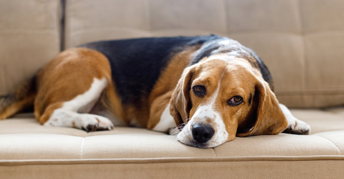 Dog Sitting on the Couch | Diamond Pet Foods