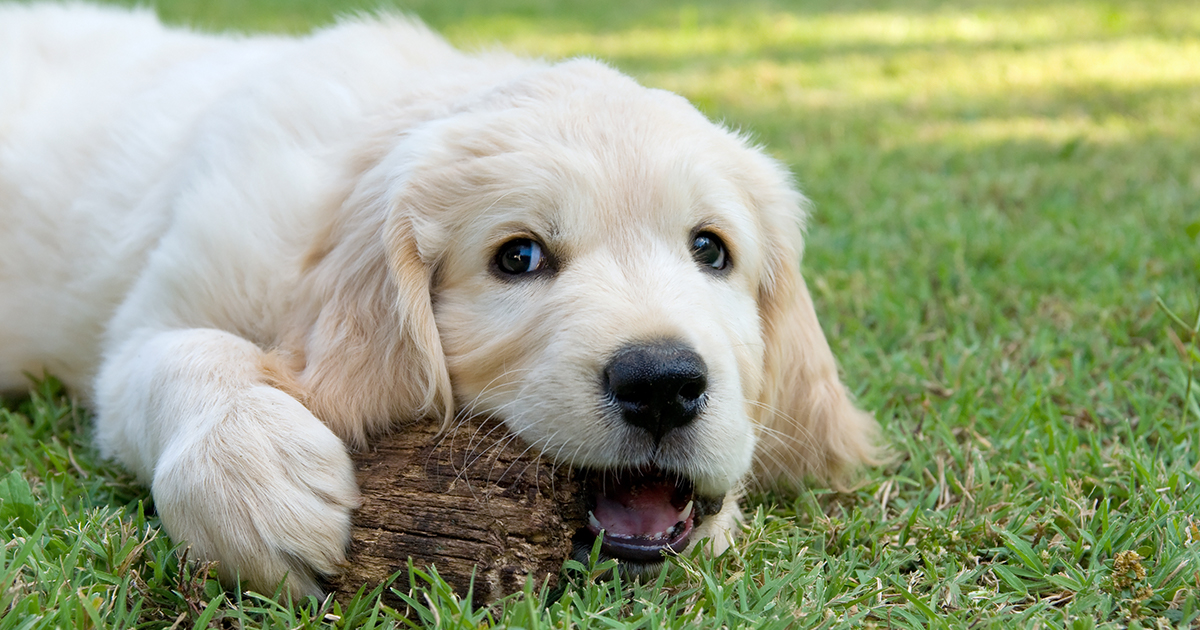 A Puppy Laying on Grass Chewing an Object   Diamond Pet Foods