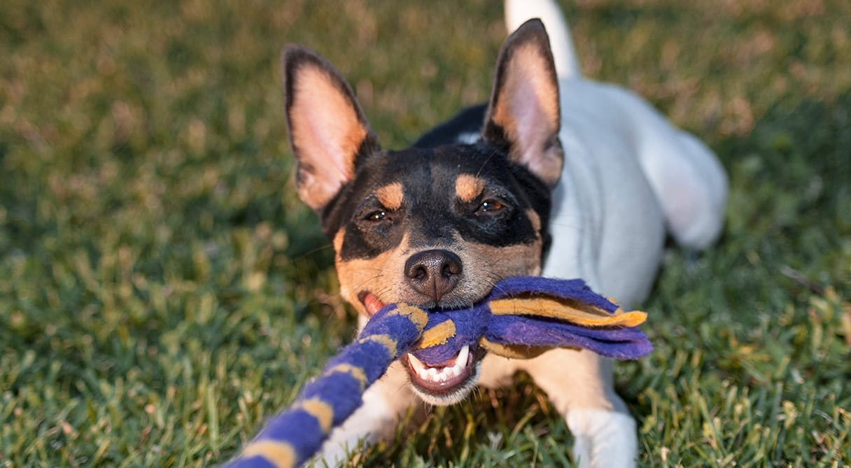 Puppy Tugging on Toy | Diamond Pet Foods